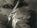 Anne Brigman, The Dying Cedar, 1906