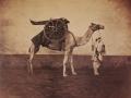 Gustave Le Gray, Dromedario d'artiglieria, 1866