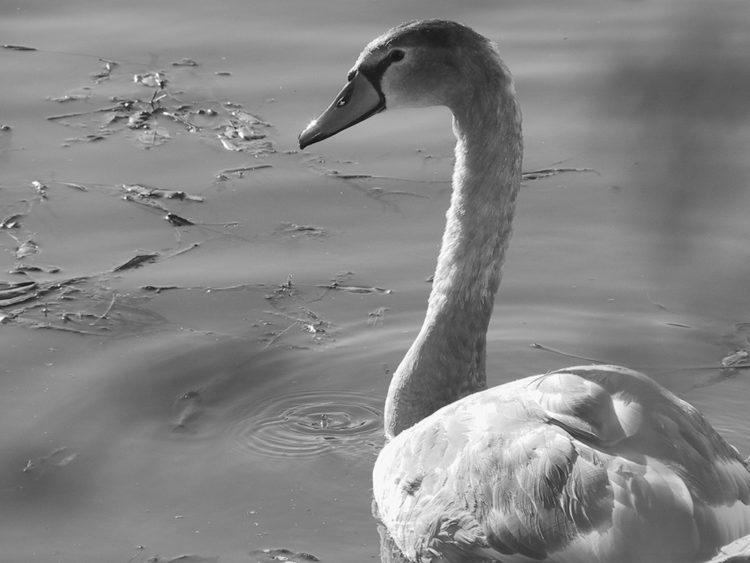 Cigno bello sul canal bianco - Ottobre 2003